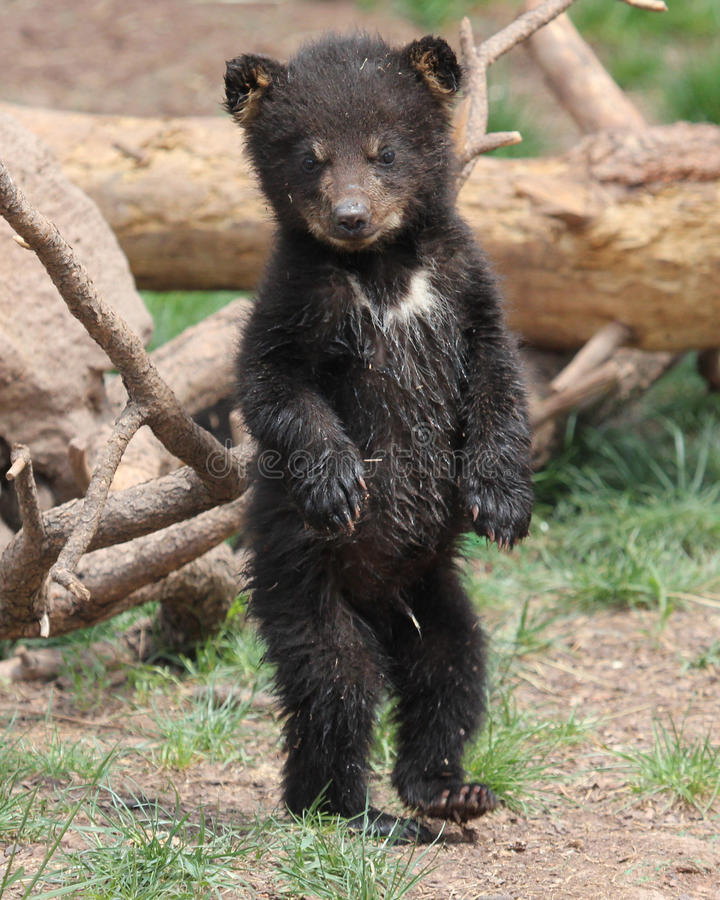 White Patched Black Bear Cub royalty free stock image