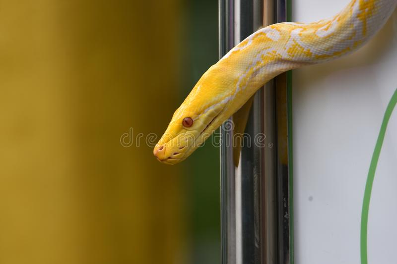 White patterned albino snake or light yellow motif royalty free stock photos
