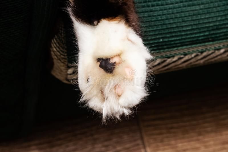 White paw of a cat with a black spot. Close up stock image