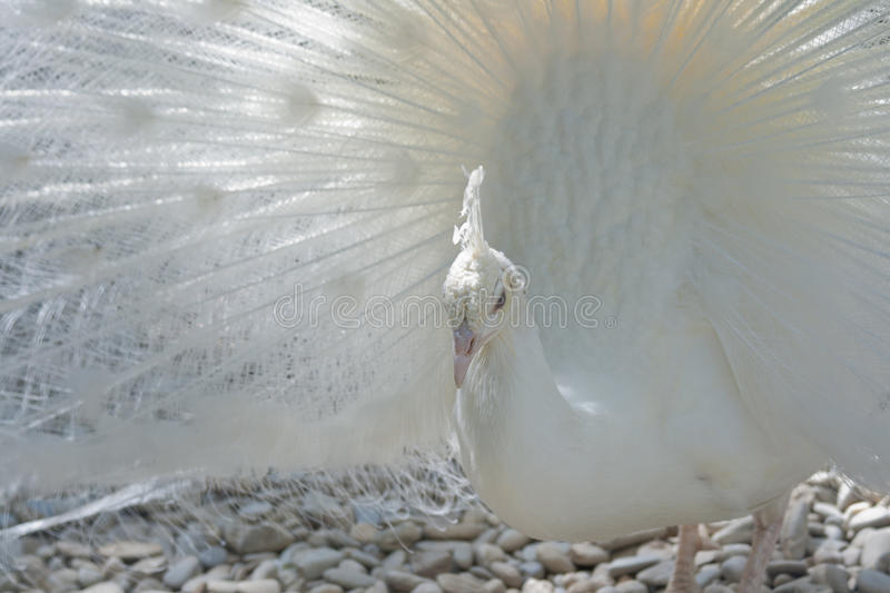 Download White Peacock stock image. Image of fanned, coverts, iridescent - 13860087