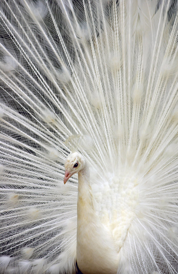 Free White Peacock 3 Royalty Free Stock Photography - 2568657