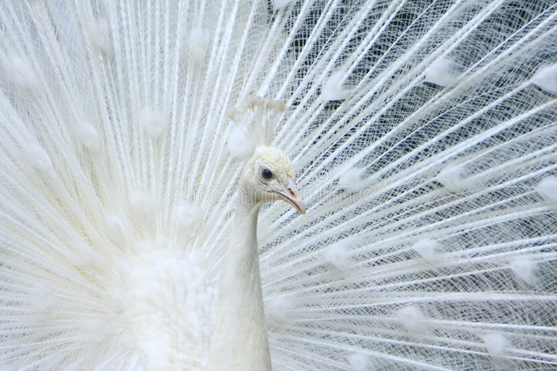White Peacock. What a beauty royalty free stock photography