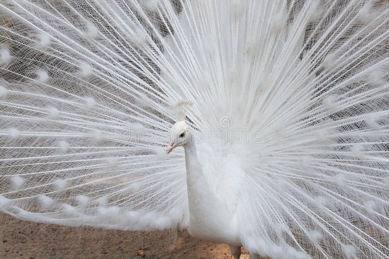 White peacock. Close view of a displaying white male peacock royalty free stock images