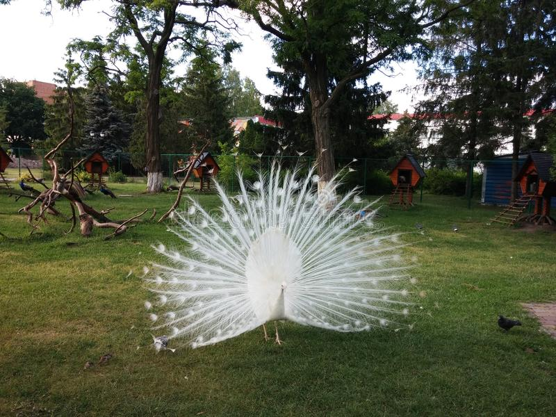 White peacock stock images