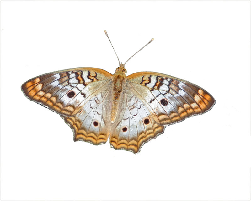 White Peacock Butterfly stock photography