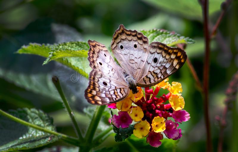 White peacock butterfly on a flower stock images