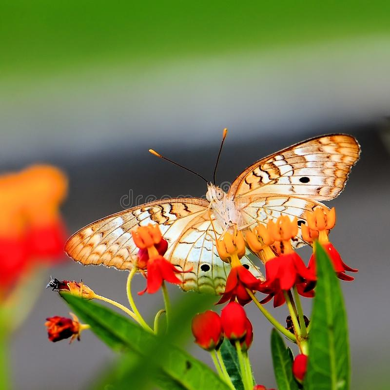 White peacock butterfly on tropical milkweed , Florida stock photos
