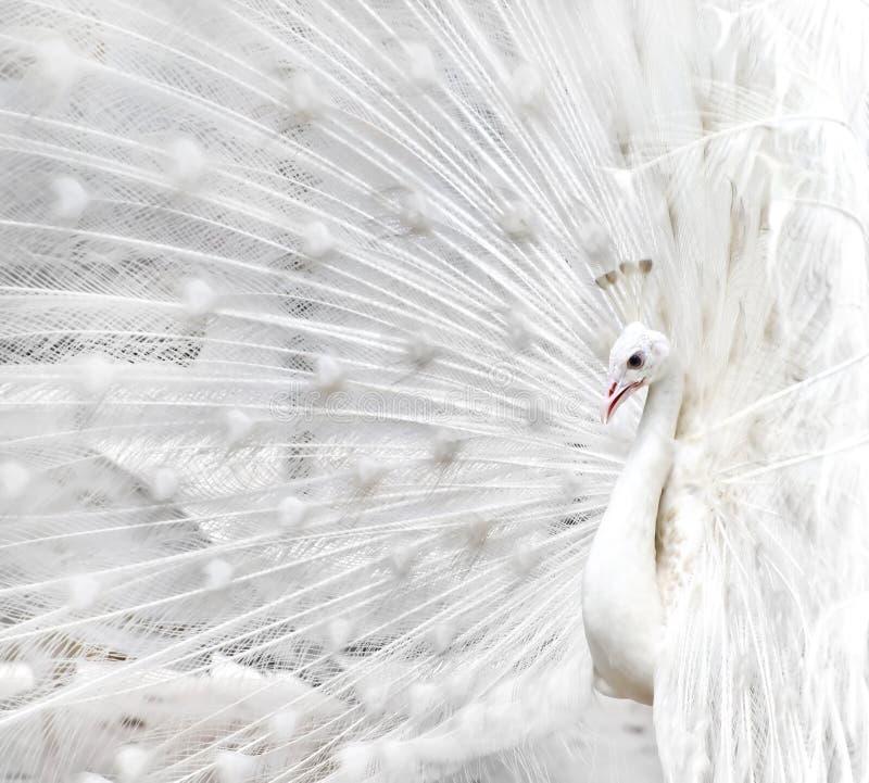 White peacock stock photos