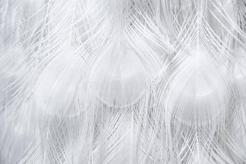 White peacock. A closed up texture details of a white peafowl hair pattern.  royalty free stock photography