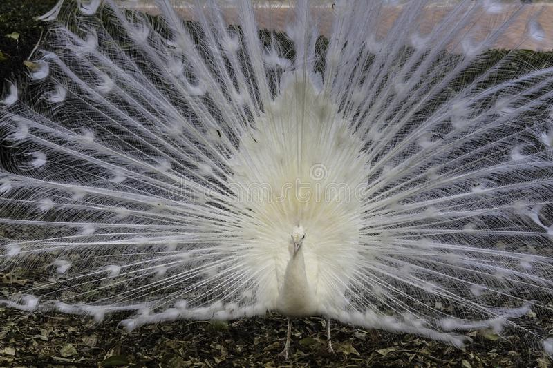 White Peacock displaying. stock photography