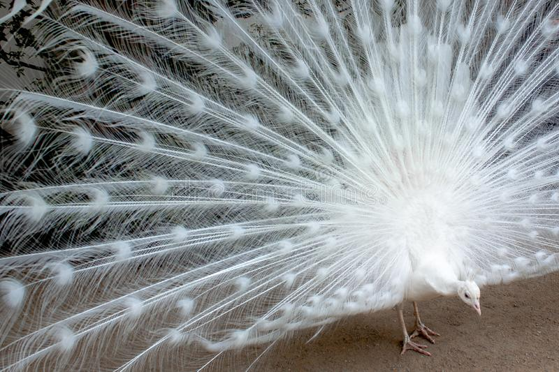 White peacock pecking stock images