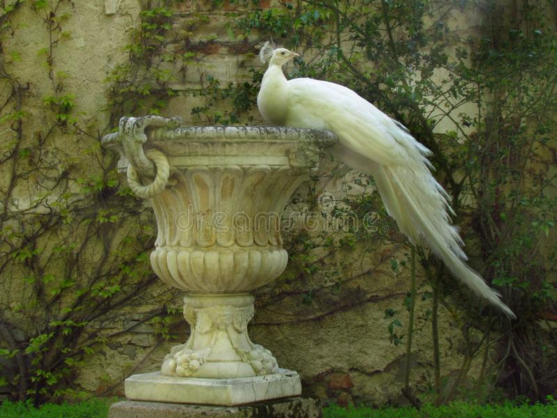 White peacock sitting on baroque decorative flowerpot. Castle garden royalty free stock image