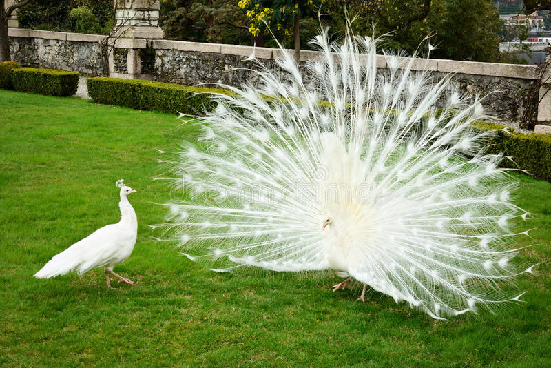 White peacocks. Flirting in the park stock photos