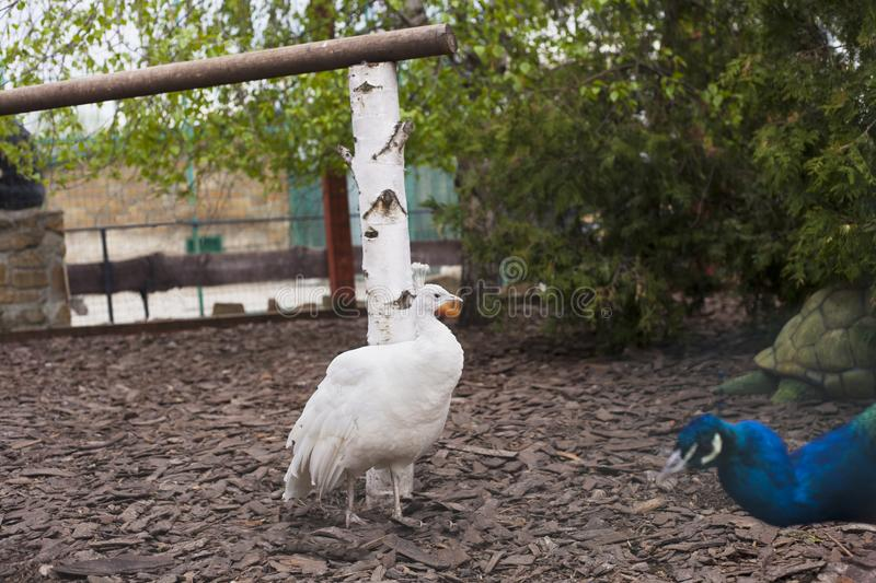 White Peafowl. In summer park stock photography