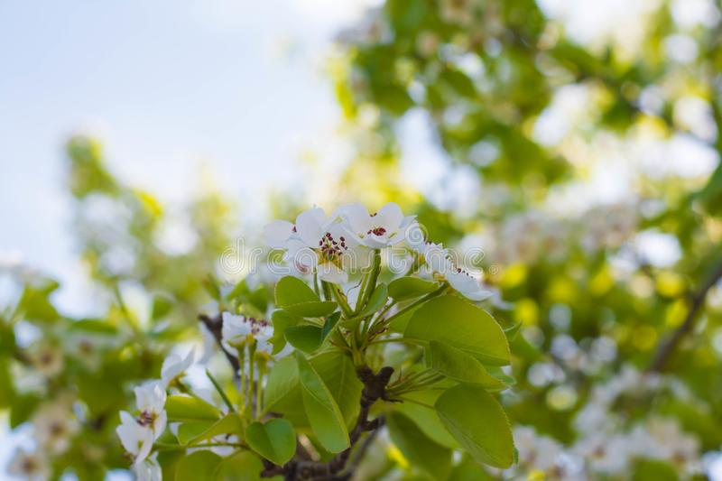 White pear tree blossoms. Flowersd royalty free stock photo
