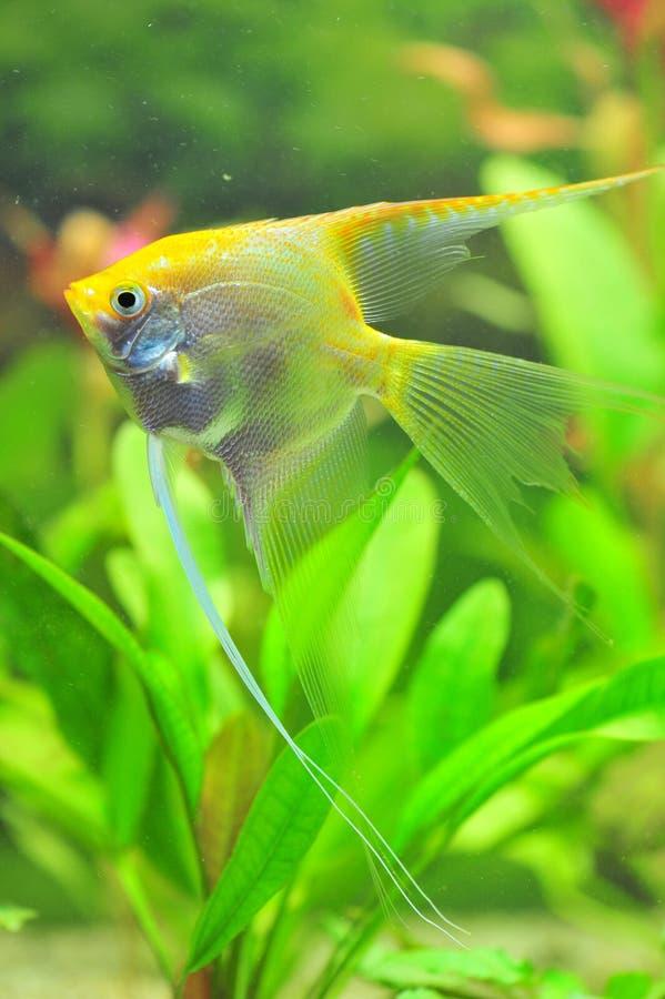 Download White Pearled Diamond Angel Fish Stock Photo - Image: 25964670