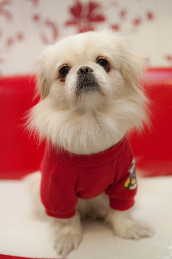 White Pekinese Dog Royalty Free Stock Images