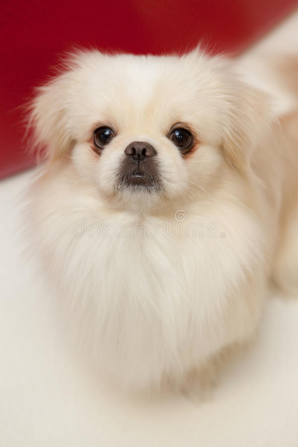White pekinese dog royalty free stock photo