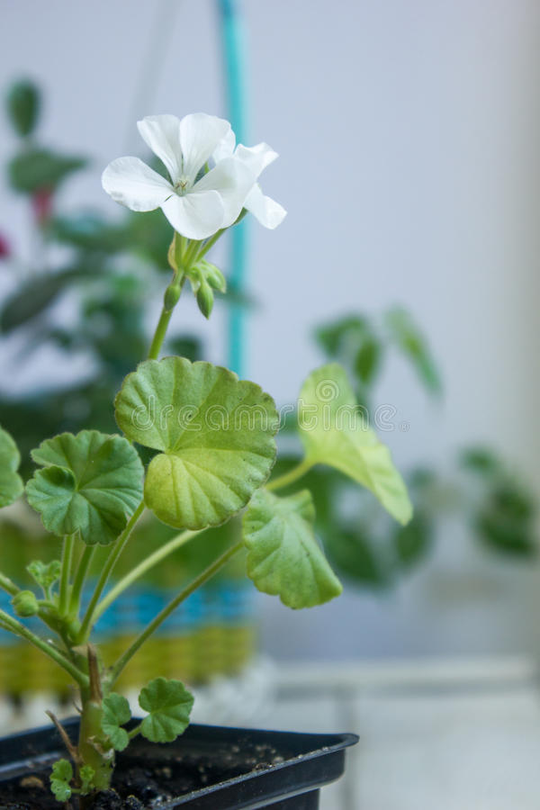 White pelargonium flower, geranium, known as storksbills, home plant stock photo