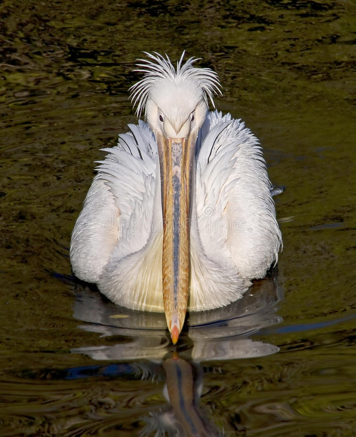 Download White pelican 1 stock image. Image of natatorial, feather - 11567311