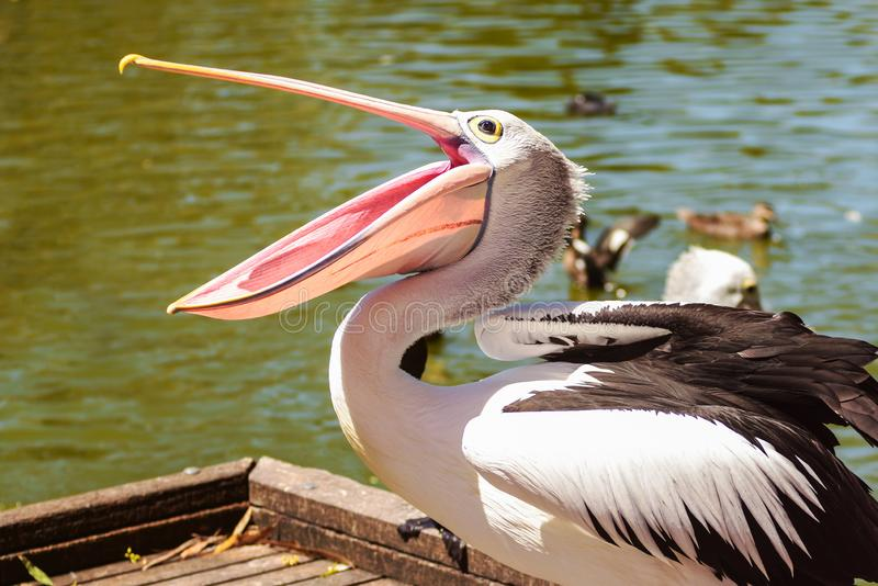 White Pelican bird in the park, Adelaide Australia. Beautiful white pelican with open beak in the park on background of the river, Australia, Adelaide. Pelicans stock photo