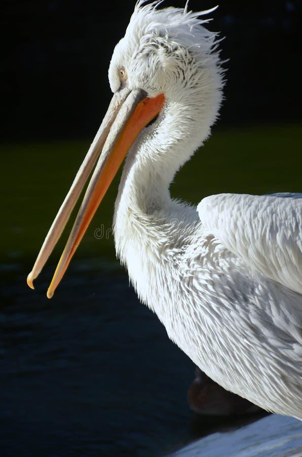 White pelican on black background in profile stock photo