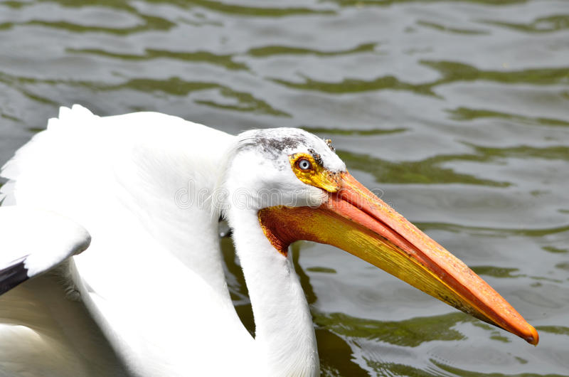 Download White pelican 2013 stock image. Image of pouch, neck - 35419207