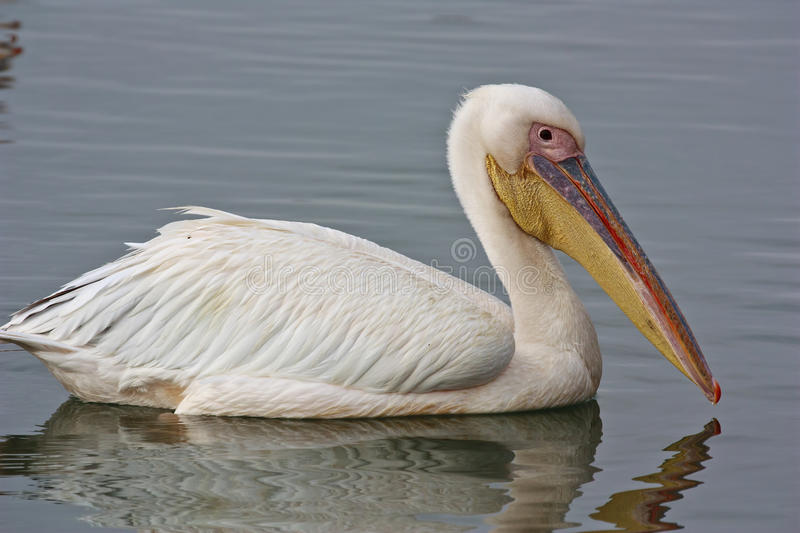 White Pelican. Fishing in the river estuary stock images