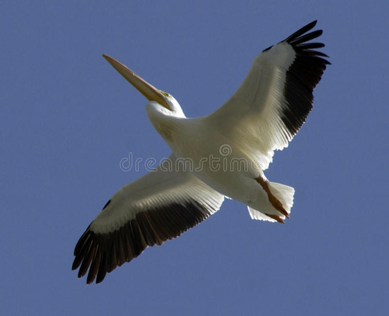 White Pelican in flight royalty free stock image