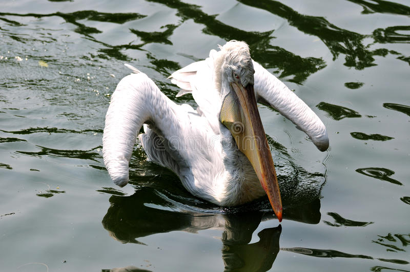 Download White pelican flying water stock image. Image of swimming - 11618759