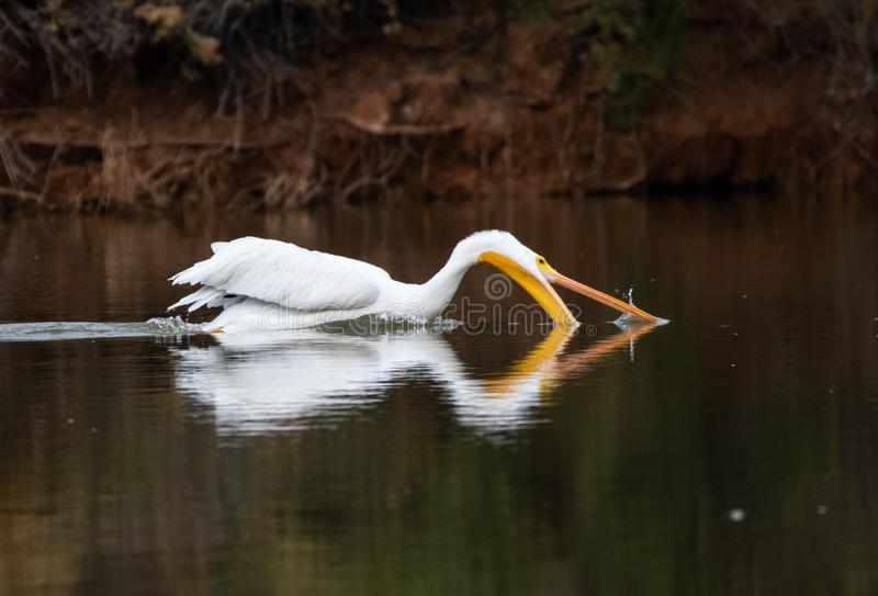 White pelican going fishing in the lake royalty free stock photography