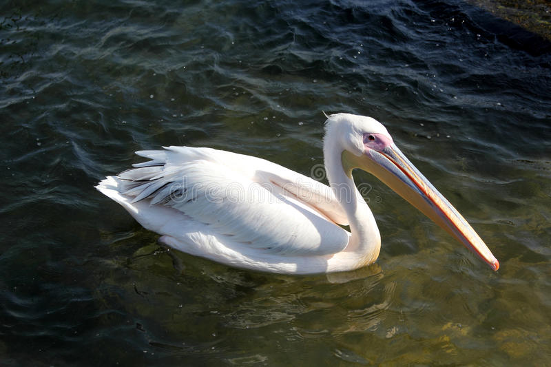 Download White pelican stock photo. Image of fauna, beak, pouch - 88782398