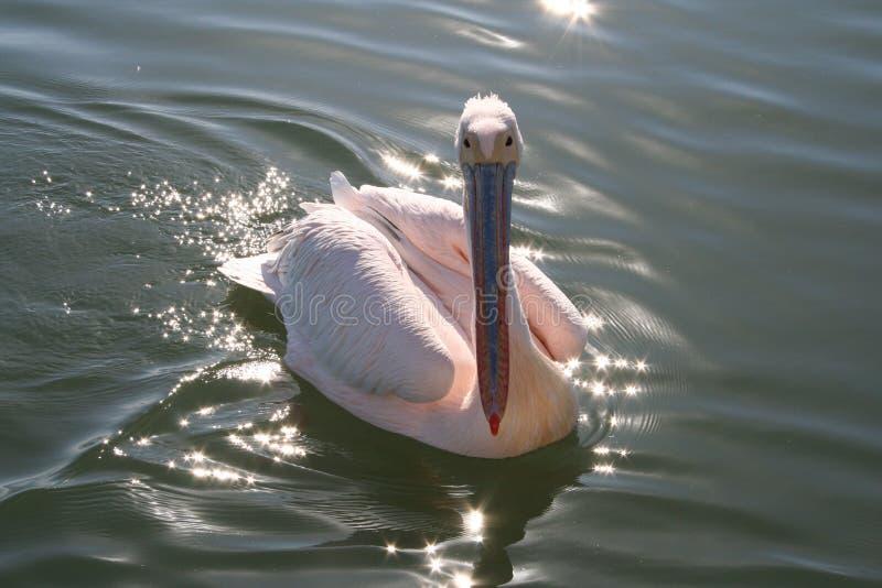 White Pelican stock photography
