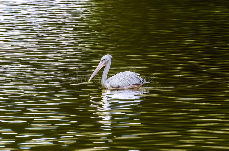 Download The White Pelican stock photo. Image of endangered, close - 39510618