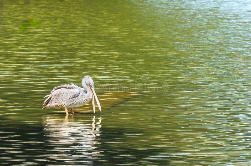 Download The White Pelican stock image. Image of lake, orange - 39510711