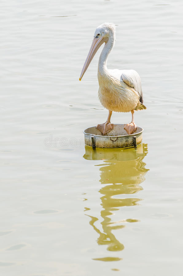 Download The White Pelican stock image. Image of fauna, migratory - 39510867