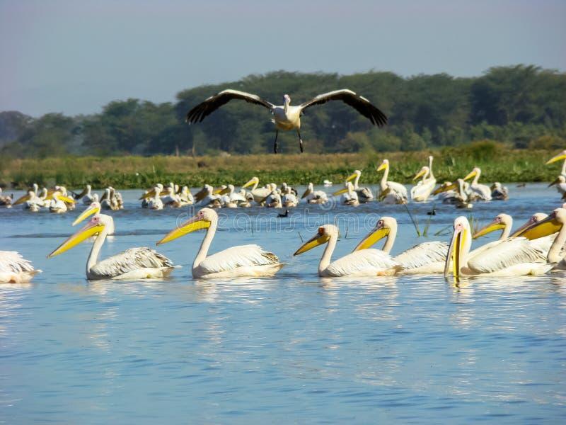 White pelican, Lake Nakuru NP, Kenya stock image