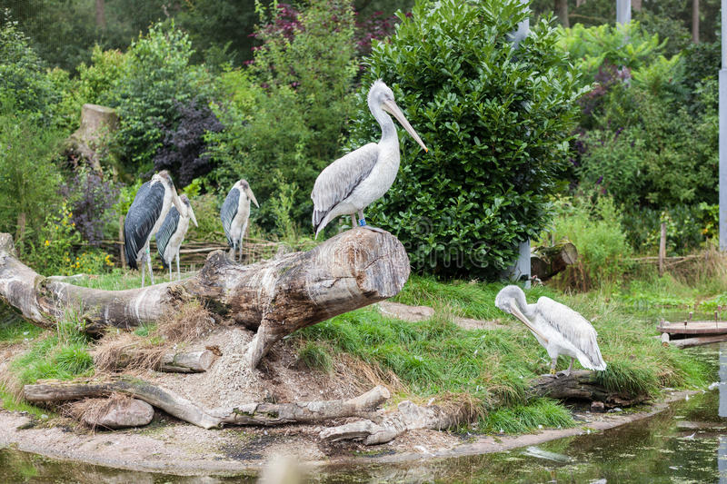 White pelican and marabou storks in zoo royalty free stock image