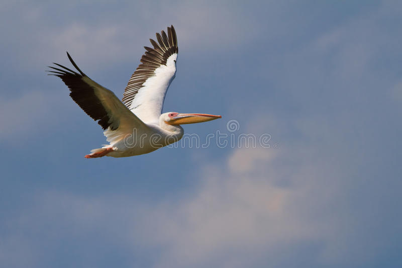 Download White Pelican (pelecanus Onocrotalus) Royalty Free Stock Photo - Image: 25517505
