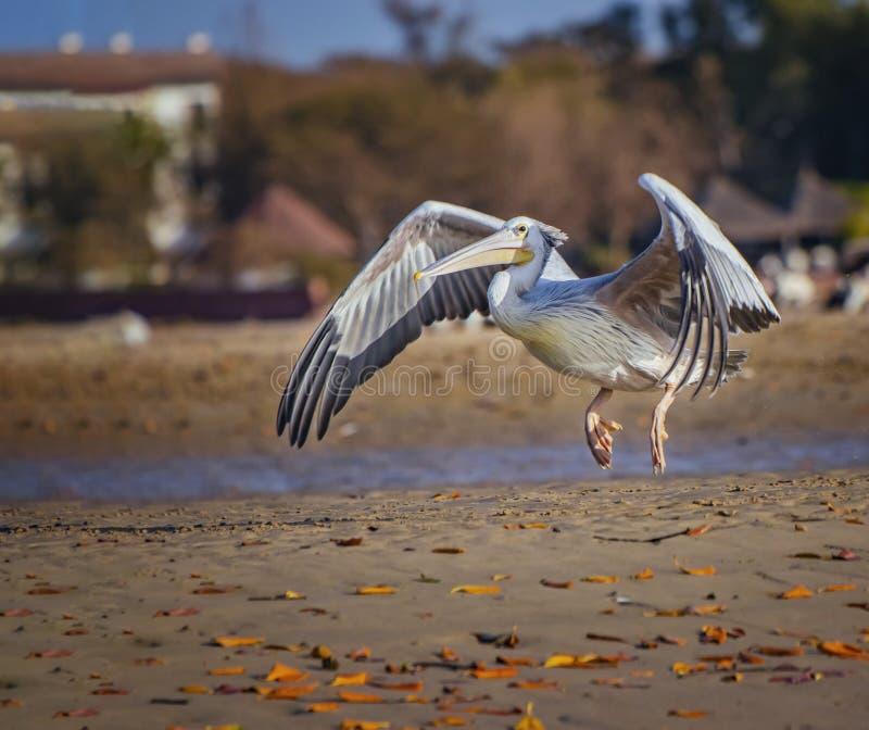 White Pelican, Pelecanus rufescens, está volando y aterrizando en la playa en la laguna marítima en África, Senegal. Es una foto  foto de archivo