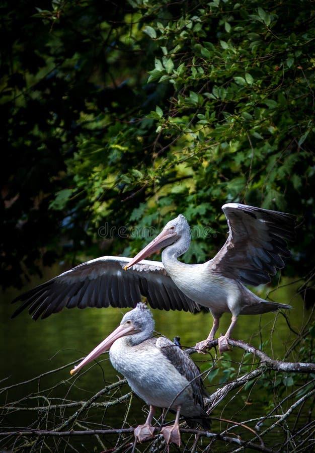 White pelican portrait stock photo