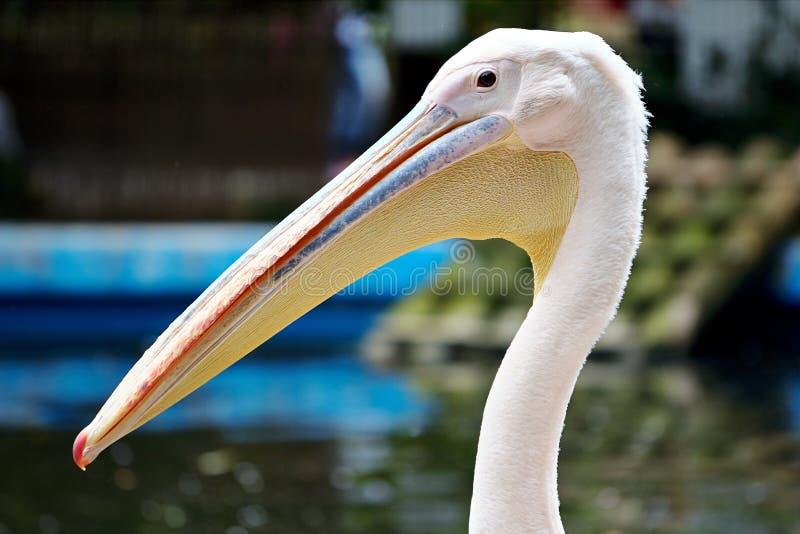 White Pelican stock image