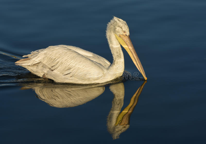 Download White Pelican With Reflection Swimming On Sea. Stock Photo - Image: 83706937