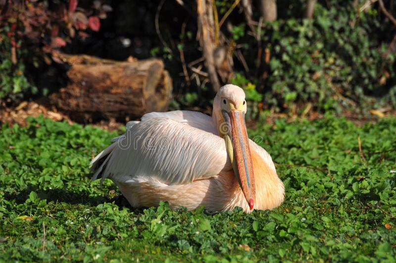 White Pelican Resting on Green Plants royalty free stock photo