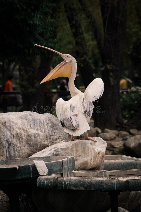 White pelican on rock royalty free stock image