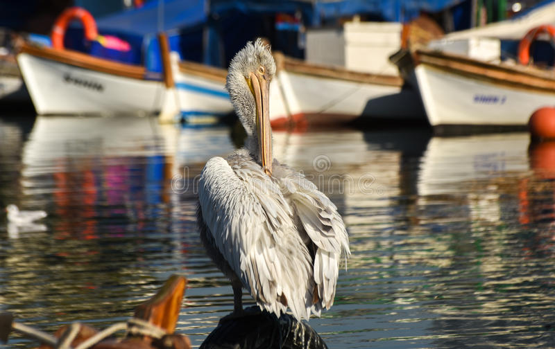 Download White Pelican Standing On Whell In Harbour. Stock Photo - Image: 83706842