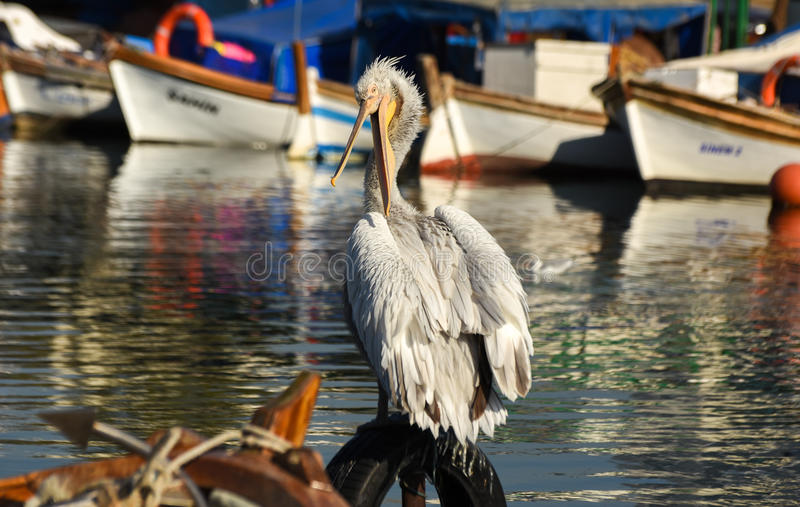 Download White Pelican Standing On Whell In Harbour. Stock Image - Image: 83707201
