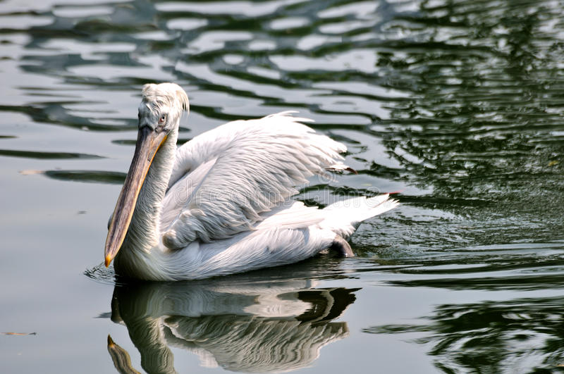 A white pelican swimming in water