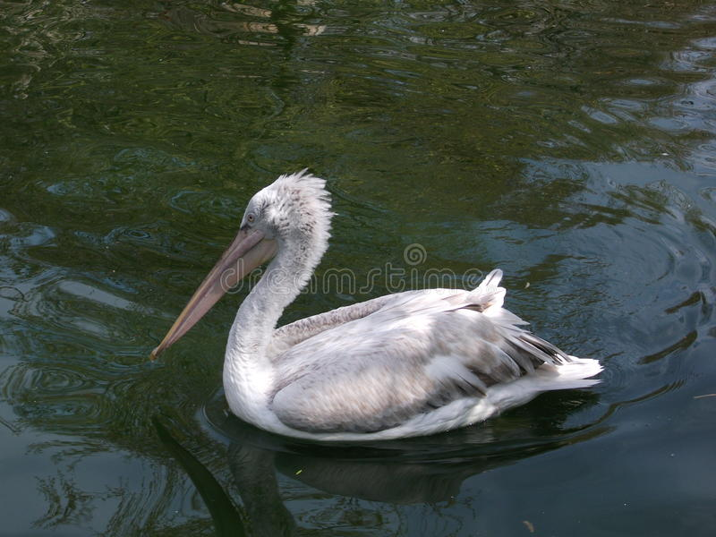 White pelican swimming on the water in Antwerp Zoo. Picture of a white pelican swimming on the water in Antwerp Zoo stock images