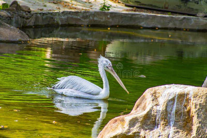 White Pelican swims in the water. Wild birds royalty free stock images